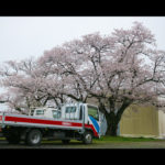 桜 阿見町 観光