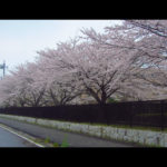 桜並木 阿見町 茨城県立医療大学 景観観光
